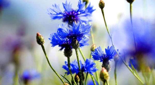 """""""گل گندم""""، گیاه درمانی برای جوش و آکنه"""